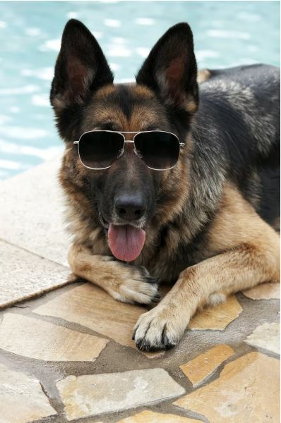 German Shepard Gunther